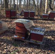 Bienenvolk Jungvolk Ableger Bienen Zander