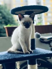 sima kater blue point