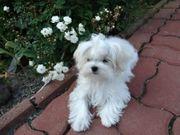 Reinrassige Malteser Welpe - 6 Monate