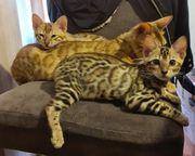 Reinrassige Bengal Kitten - Abgabebereit