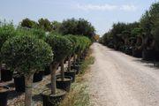 Olivenbaum Bonsai