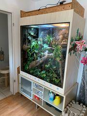 Pantherchamäleon mit Terrarium zu verkaufen