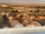 Zwergseidenhühner und Seidenhühner Küken