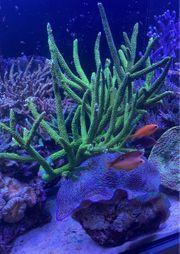 Korallen Acropora Enzmann