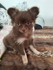 5 Pomeranien Chihuahua Mix Babys