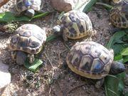 Kleine griechische Landschildkröten von 2020