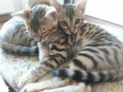 Bengal Wohnzimmer Leoparden Babys suchen
