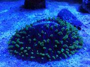 Meerwasser Korallen Fungia