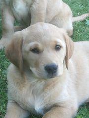 Golden Retriever Labradormischlingswelpen
