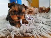 kleinbleibender Yorkshire terrier