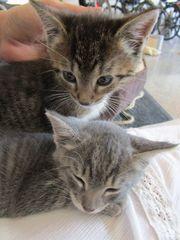 2 kleine Katzenbabys grau und