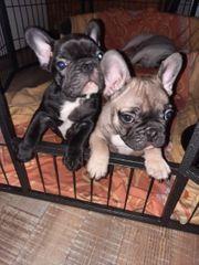 Französische Bulldoggenwelpen Amigo und Teddy