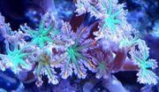 Cluvalaria Tricolor