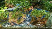 Neocaridina davidi var Topas Blue