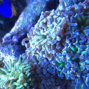 Korallen Korallenableger Meerwasser Versand möglich