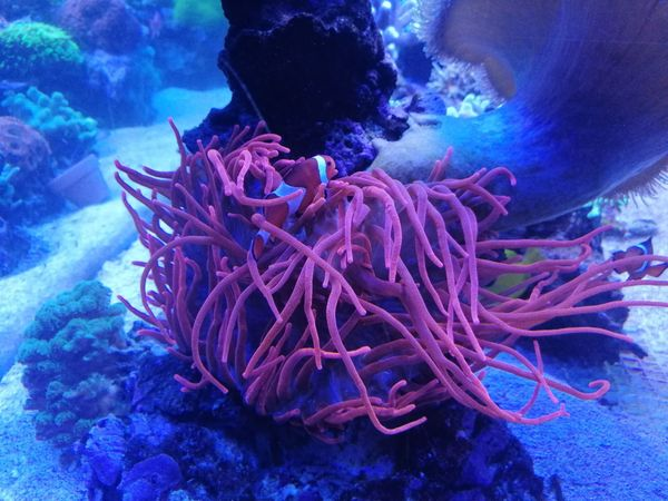 Entacmaea quadricolor - Kupfer Anemone Koralle