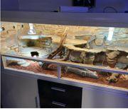 Terrarium mit Unterschrank Bartagame Pogona