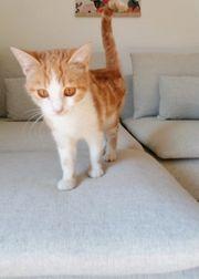 2 Katzen Mädchen orange weiß