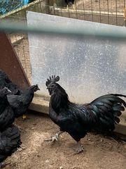 schwarze Hühner Ceman