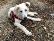 Lieber und zurückhaltender Abruzzenschäferhund Herdenschutzhund