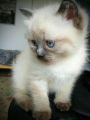 RAGDOLL Kitten Blue ColourPoint - RESERVIERT