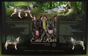 Osteuropäischer Schäferhund DECKUNG 05 2020