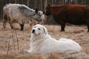 Ausgebildete Herdenschutzhunde Hirtenhunde Maremmano mit