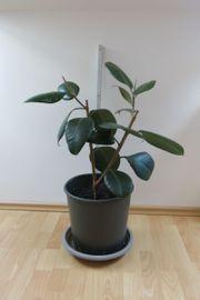 Ficus Elastica Robusta - Gummibaum
