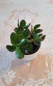 Pflanze Geldbaum