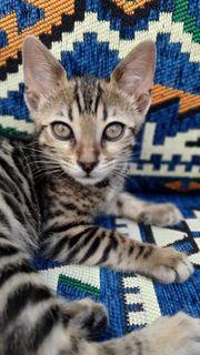 Bengalkitten - Katzenbaby - Katze - Kitten Bengal