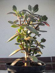 Zimmerpflanze Geldbaum Dickblatt Pfennigbaum Crassula