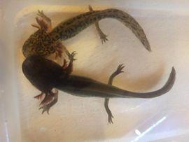 Junge Axolotl suchen dringend neues Zuhause!