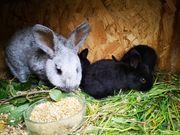 Helle Großsilber Kaninchen