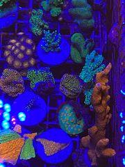 Meerwasser Korallen Montipora Acropora