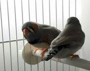 Zebrafinken 1 Pärchen mit Vogelkäfig