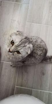 Scottish Fold Kitten suchen ein