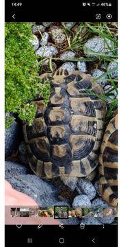 Schildkröte fast zu verschenken Schutzgebühr