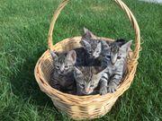 Wunderschöne Bengal Mix Kitten