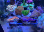 Montipora Korallen Meerwasser