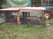2 Zwergwidder Kaninchen m w