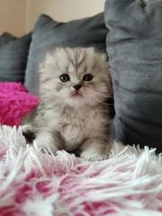 BKH-BLH Kitten