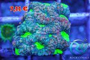 Favia Jungle Snake Meerwasser Korallen