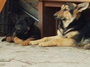 Altdeutschen Schäferhund Welpen