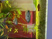 Fadenfische Fische Aquarium