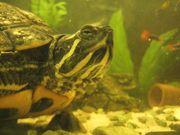 weibliche Gelbwangenschmuckschildkröte