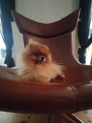 Pomeranian Zwergspitz Deckrüde kein Verkauf
