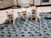 Süße Pomeranian Welpen