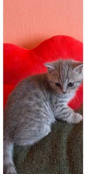 Baby Kätzchen BKH