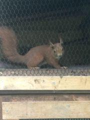 Eichhörnchen Jungtiere