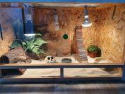 Zwergbartagame mit Terrarium